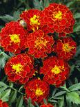 Чорнобривці Бархатцы «Кармен» Семена цветов Насіння квітів